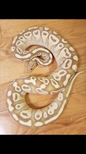 * Male Banana Lesser Ball Python *
