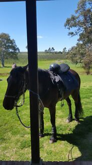 Wanted Trail rider horse for rent to buy Seppeltsfield Gawler Area Preview
