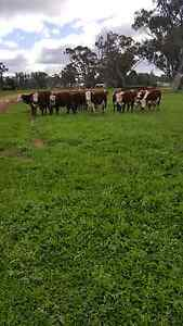 24  Poll Hereford Mixed Sex Weaners Narromine Narromine Area Preview