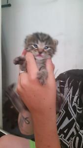 Tiger kitten for sale Eagleby Logan Area Preview