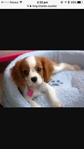 WANTED! King Charles Cavalier Koondrook Gannawarra Area Preview