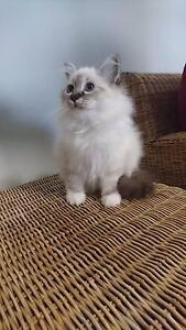 Stunning Seal Point Tabby Birman Toowoomba Toowoomba City Preview
