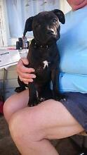English staffy pup Mole Creek Meander Valley Preview