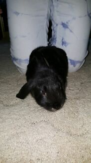 Black pure bred mini lop ear rabbit  Rouse Hill The Hills District Preview