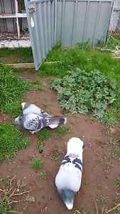 Pigeons tarkish Mansfield Park Port Adelaide Area Preview