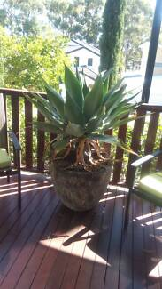REDUCED-MOVING - LARGE AGAVES IN BEAUTIFUL POTS Robina Gold Coast South Preview
