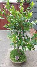 bonsia for sale Singleton Singleton Area Preview