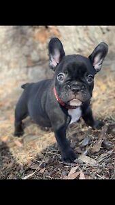 French bulldog puppy chocolate female