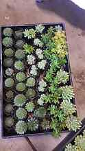 Succulents Thomastown Whittlesea Area Preview