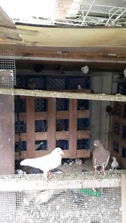 Egyptian swift and racing pigeons babies and adults Silverwater Auburn Area Preview