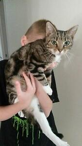 Female Tabby Cat. Needing a loving home. Gawler South Gawler Area Preview