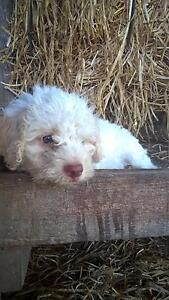 Adorable Lagotto. Ready for their forever home Rosewood Ipswich City Preview