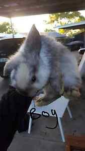 Baby bunnies Port Noarlunga Morphett Vale Area Preview