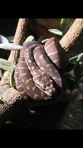 Central carpet Python hypo Silverdale Wollondilly Area Preview