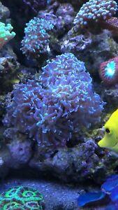 Colonie 6-7 tête hammerhead bleu