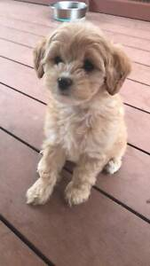 Cavoodle Puppies - ONLY 1 REMAINING