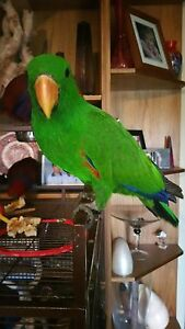 Male eclectus parrot Sydney City Inner Sydney Preview