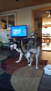 Very large husky mix in need of loving home