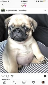 Looking for a purebred pug puppy!