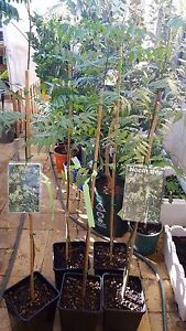 Topical fruit tree for sale from $35 Baldivis Rockingham Area Preview