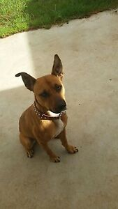 Male dog *urgent* Blakeview Playford Area Preview
