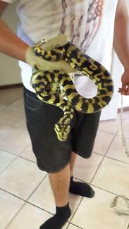 JUNGLE PYTHONS BLACK AND GOLD Gawler Gawler Area Preview