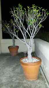 Ficus standard trees Vaucluse Eastern Suburbs Preview