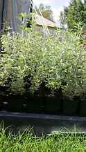 Lucerne tree seedlings livestock fodder hedge shrub bees Karalee Ipswich City Preview