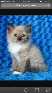 Wanted: LOOKING FOR A RAGDOLL KITTEN