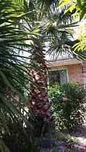 Washingtonia (Mexican Fan Palm) 3 meters +, well established Wheelers Hill Monash Area Preview