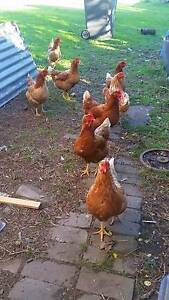 8 Rhode Island Red Chickens $25 each Revesby Bankstown Area Preview