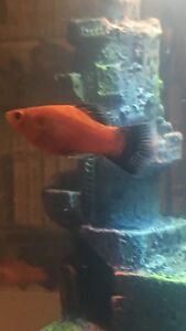 Selling my male red wag platy