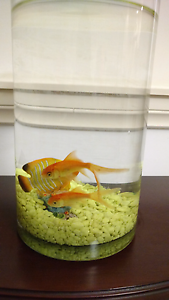Two gold fishes with jar, food and net Payneham Norwood Area Preview