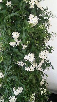 5 x Pianta di Solanum Jasminoides Pianta Rampicante Gelsomino notturno vaso 7