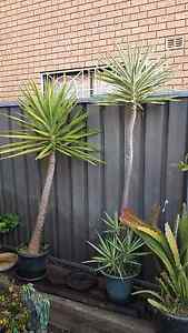 Yucca Plants Wakeley Fairfield Area Preview