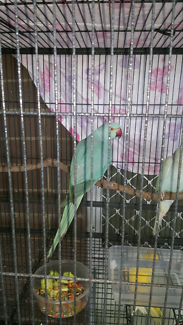 Young adult ringnecks for sale. Male and female $60ea or swaps
