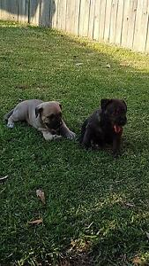 wolfhound puppies for sale Bolton Point Lake Macquarie Area Preview