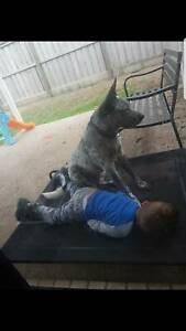 Blue cattle dog