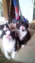 Adorable kittens for free Nambucca Area Preview
