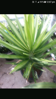Yucca plants in pot very good from $ 5
