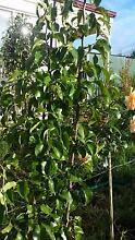 CAPITAL ORNAMENTAL PEAR TREES $45 TO $79 Skye Frankston Area Preview