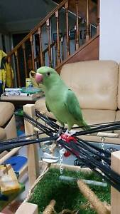 Handraised baby green ringneck for sale Eatons Hill Pine Rivers Area Preview