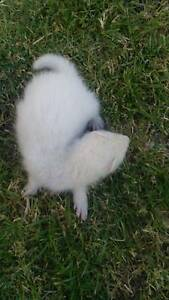 Ferret babies for sale. Sold pending p/up Armadale Armadale Area Preview