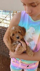 Cavoodles first generation pups