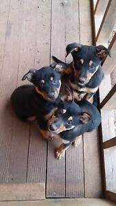 2 Beautiful,excellent natured female black and tan kelpie pups Albury Albury Area Preview