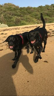 Looking for loving home for two black labradors