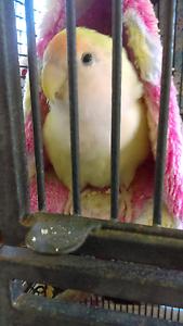 Love bird.2yr old. Redbank Plains Ipswich City Preview
