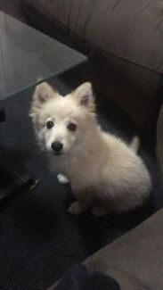 Japanese Spitz X Chihuahua 14 weeks old.