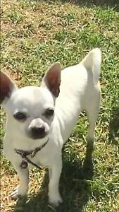 Chihuahua  male Sunshine Brimbank Area Preview