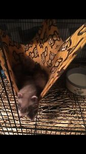 8 week old baby Ferrets Cessnock Cessnock Area Preview